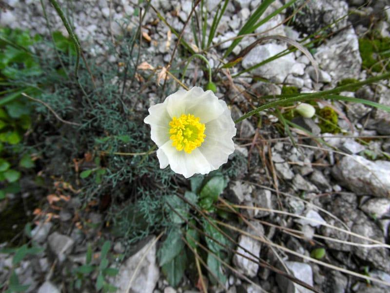 Alpenmohn_Hoebinger